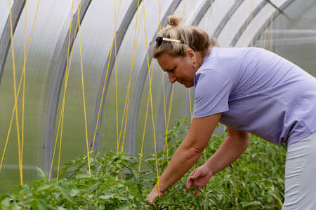 Farmer woman inspects leaves of tomatoes in a greenhouse. Checking tomato seedlings in the greenhouse. Disease of horticultural crops Stock Photo