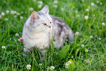 British cat stands in the grass on the street. Beautiful gray cat for a walk