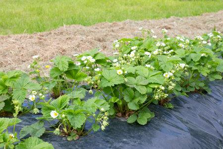 Blooming strawberries on a black film. Strawberry seedlings