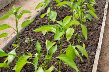 Pepper seedlings in the greenhouse. Young seedlings of pepper in a greenhouse Stock Photo