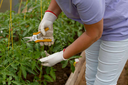 Woman with pruning shears processes tomatoes in a greenhouse.