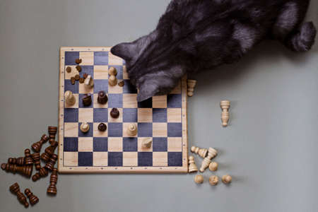 The cat is playing chess. A gray cat sits at a chess board