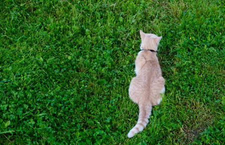 A ginger cat with a collar sits on the grass. The cat has its back to the camera.