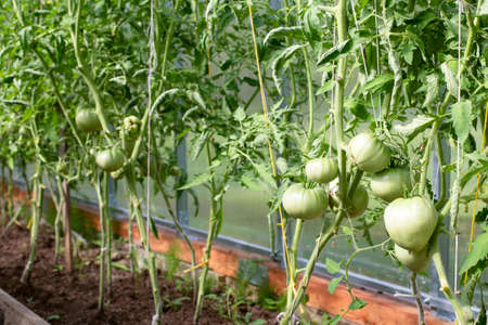 Large green fruits of tomatoes in the greenhouse. Seedlings of tomatoes in the greenhouse. Healthy and fresh tomato seedlings in the greenhouse