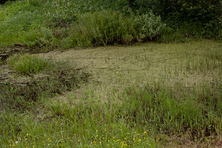 Swamp in the grasses. Swampy area in the forest.