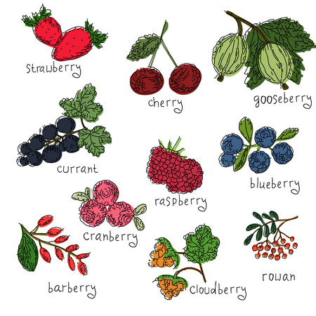 Vector set of hand drawn colored north berries. Collection of blueberry, cranberry, cloudberry, cherry, strawberry, currant, raspberry, rowan, gooseberry, barberry