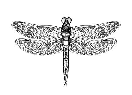 Illustrazione vettoriale in bianco e nero di una libellula. Schizzo di insetto disegnato a mano. Disegno grafico dettagliato di damselfly in stile vintage