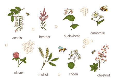 Vector set of colored wild flowers. Illustration of honey flowers with bee, bumblebee, honeycombs. Colorful collection of acacia,heather,chamomile,buckwheat,clover,melilot,chestnut,willow