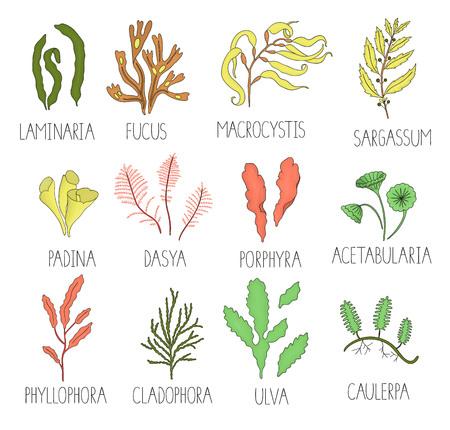 Vektor farbiger Satz Algen isoliert auf weißem Hintergrund. Bunte Sammlung von Laminaria, Fokus, Macrocystis, Sargassum, Padina, Dasya, Porphyra, Phyllophora, Cladophora, Ulva, Acetabularia.