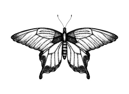 Black and white vector illustration of a butterfly. Hand drawn insect sketch. Detailed graphic drawing of birdwing in vintage style. Иллюстрация