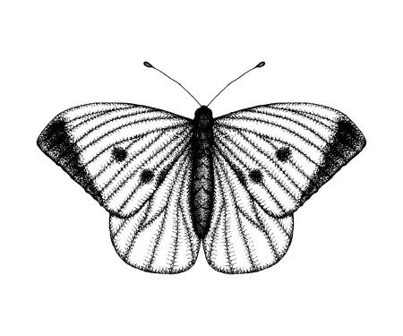 Black and white vector illustration of a butterfly. Hand drawn insect sketch. Detailed graphic drawing of wall brown in vintage style.