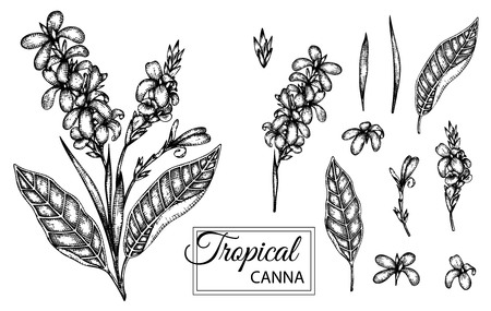 Vector illustration of tropical flower isolated on white background. Hand drawn canna. Floral graphic black and white illustration. Tropic design elements. Line shading style  イラスト・ベクター素材