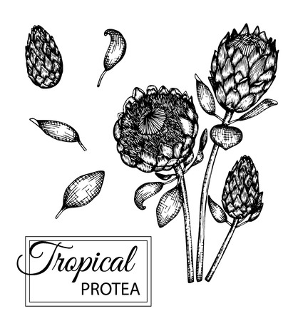 Vector illustration of tropical flower isolated on white background. Hand drawn protea. Floral graphic black and white illustration. Tropic design elements. Line shading style