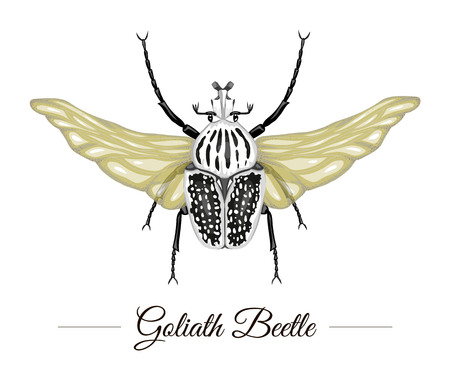 Vector hand drawn colored tropical goliath beetle with wings isolated on white background. Tropic themed logotype for natural design. Exotic insect illustration