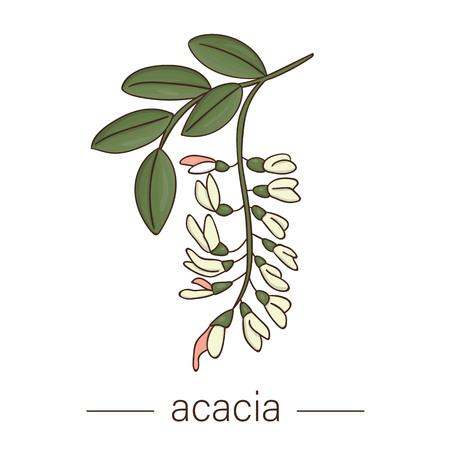 Vektor-Akazie-Symbol. Farbige wilde Blumenillustration. Farbige Honigpflanze im Cartoon-Stil isoliert auf weißem Hintergrund Vektorgrafik
