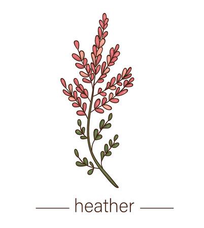 Vektor-Heidekraut-Symbol. Farbige wilde Blumenillustration. Farbige Honigpflanze im Cartoon-Stil isoliert auf weißem Hintergrund