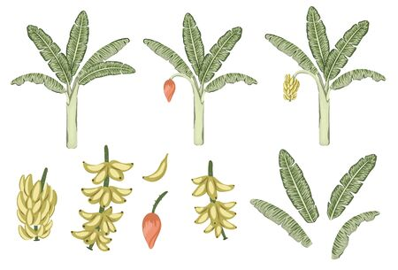 Vector tropical banana tree and fruit clip art. Jungle foliage illustration. Hand drawn exotic plant isolated on white background. Bright realistic illustration of bananas growing process.