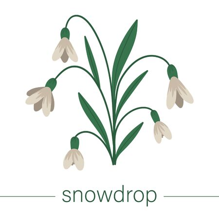 Vector flat snowdrop illustration. Cute spring flowers. First blooming plants. Floral clip art isolated on white background.