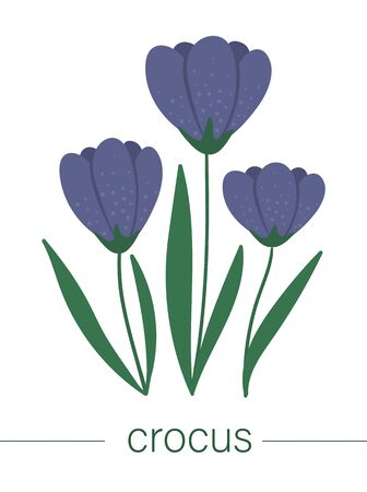 Vector flat crocus illustration. Cute spring flowers. First blooming plants. Floral clip art isolated on white background.