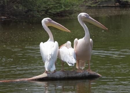 pelikan: White pelican on the lake in Delhi zoo Stock Photo