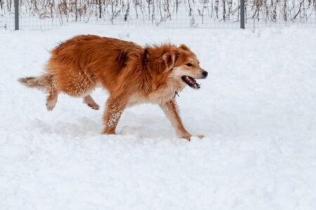 Big cute and beautiful red dogs play happily and cheerfully with each other, run and jump on the snow-covered area, enjoying a walk in the open air on a nice winter day