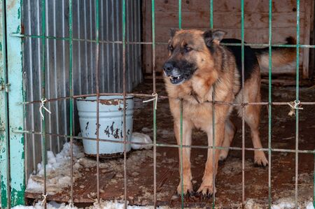 A large, beautiful, menacing dog in a doghouse at a homeless shelter poked its head out of the cage through the bars. The ground is covered with snow.