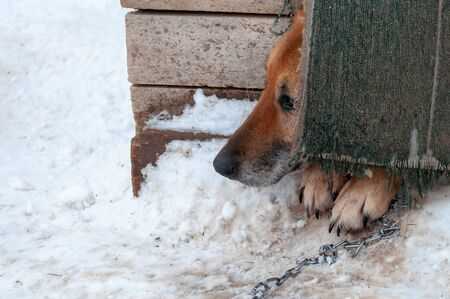 A beautiful dog looks timidly out of a closed doghouse in a shelter for homeless dogs. The ground around is covered with snow Zdjęcie Seryjne