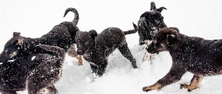 A family of several black cute puppies having fun playing on a dog walking area in the countryside in the fresh fluffy snow on a fine winter day