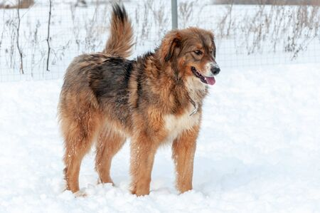 Beautiful red-haired big dog stands while walking on a winter day