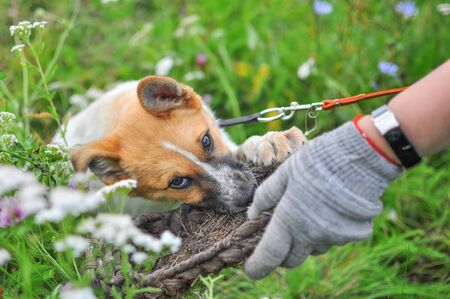 A cute white puppy with a red head tries to snatch an old village wicker Shoe from a mans hand while lying on the fresh green grass among wild flowers Zdjęcie Seryjne