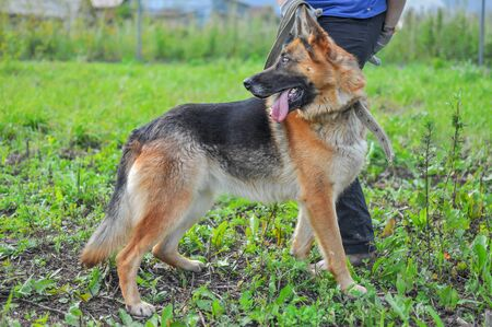 General plan, a beautiful German shepherd with an open mouth and a protruding tongue, standing at the feet of the owner on a summer or spring day 版權商用圖片
