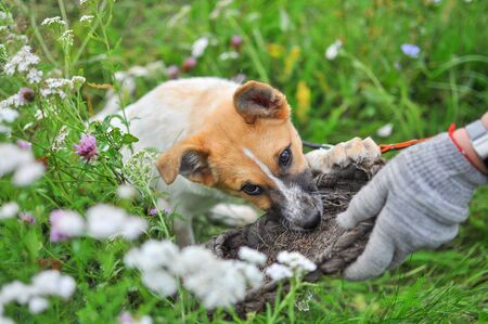 A cute white puppy with a red head tries to snatch an old village wicker Shoe from a man's hand while lying on the fresh green grass among wild flowers Zdjęcie Seryjne - 140613057