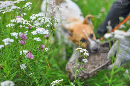 In a blurry background, a cute white puppy with a red head is gnawing on an old village wicker Shoe while lying on the fresh green grass. Wildflowers are in focus in the foreground