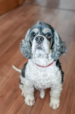 Cute adult American Cocker Spaniel tricolor with wide open eyes sitting on the parquet floor inside the room. Natural light.