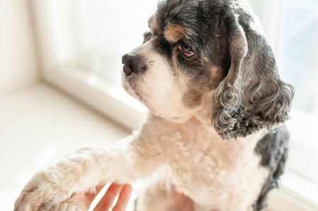 A cute adult American Cocker Spaniel of three colors sits at the window on a bright Sunny day and puts a paw in the outstretched hand of a person. Natural light.