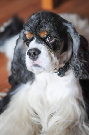 Cute adult purebred tricolor American Cocker Spaniel with wide open eyes indoors. A black and white dog with brown eyebrows. Natural daylight.