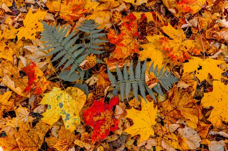 Colorful fallen red orange yellow autumn maple leaves. A fern Bush with dark grey leaves. Close up.