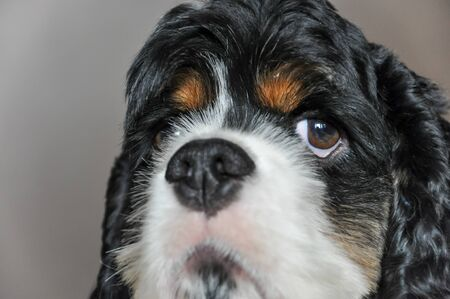 Cute purebred tricolor American Cocker Spaniel indoors close-up. A thoroughbred black-and-white dog with brown eyebrows looks at the camera. Natural light.