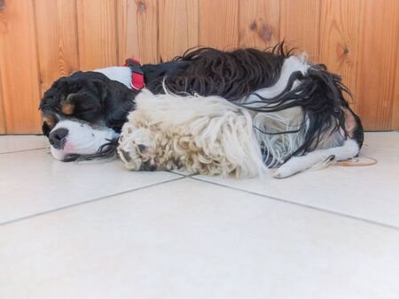 A cute adult purebred tricolor American Cocker Spaniel sleeps in the room. A black and white dog with brown eyebrows. Natural daylight.
