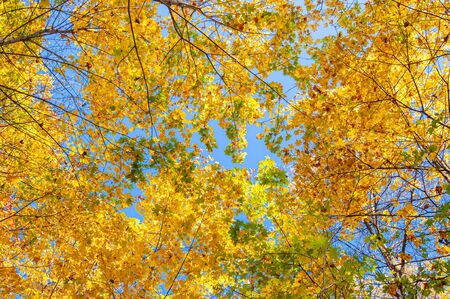 Colorful autumn forest on a bright Sunny day. Tree crowns with yellow and orange maple leaves are photographed from the bottom up against a bright clear blue sky