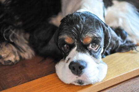 Cute adult purebred tricolor American Cocker Spaniel indoors. A black and white dog with brown eyebrows. Natural daylight.