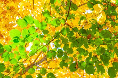 Colorful autumn forest on a Sunny day. Bright green hazel leaves against the yellow orange crowns of maple trees in a blur photographed from the bottom up