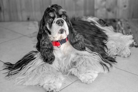 Cute adult purebred tricolor American Cocker Spaniel indoors. A black-and-white dog with brown eyebrows looks at the camera. Natural light. Black and white photo with red highlighted