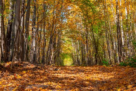Autumn forest alley on a Sunny day. The path that goes deep into the forest is covered with yellow and orange leaves. The trees close over the road. Zdjęcie Seryjne