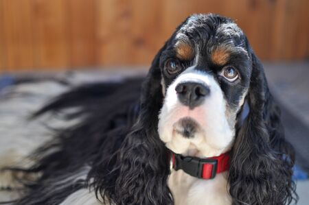 Cute adult purebred tricolor American Cocker Spaniel indoors. A black-and-white dog with brown eyebrows looks at the camera. Natural light.