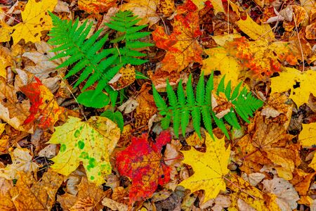 Colorful fallen red orange yellow autumn maple leaves. The green Bush of fern. Close up. Zdjęcie Seryjne