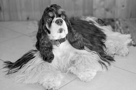 Cute adult purebred tricolor American Cocker Spaniel indoors. A black-and-white dog with brown eyebrows looks at the camera. Natural light. Black and white photo.