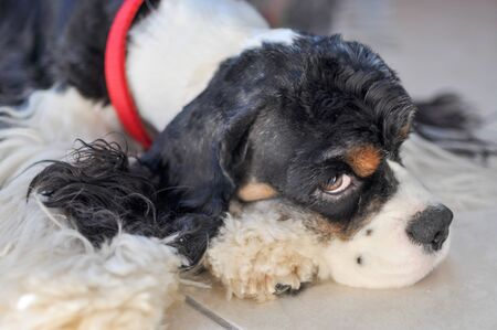 A cute adult purebred tricolor American Cocker Spaniel lies on a Mat inside the room. A black and white dog with brown eyebrows. Natural light. Zdjęcie Seryjne
