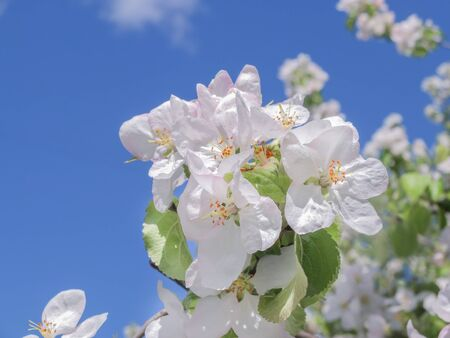 Blooming white Apple tree in the garden against the blue sky. Spring day, beautiful delicate flowers close-up. Shallow depth of field.