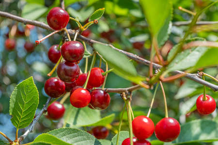 Clusters of ripe cherry berries on the branches. Cherry tree on a bright Sunny day. Close up